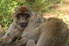 Vista do Macaca Imagens de Stock