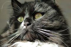 Vista do olhar fixo do gato preto Fotos de Stock Royalty Free