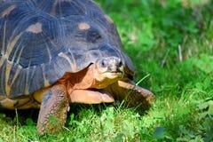 Vista do retrato da cabeça de Gigantea do Geochelone da tartaruga foto de stock royalty free