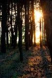 Vista do sol através da floresta Foto de Stock