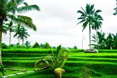 Vista do terraço romântico e relaxando do campo do arroz na ilha tropical em Ásia com árvores e o céu azul ensolarado fotos de stock