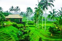 Vista do terraço romântico e relaxando do campo do arroz na ilha tropical em Ásia com árvores e o céu azul ensolarado imagem de stock