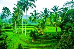Vista do terraço romântico e relaxando do campo do arroz na ilha tropical em Ásia com árvores e o céu azul ensolarado fotografia de stock royalty free