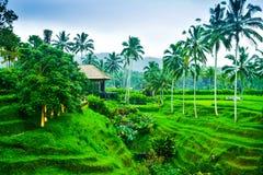 Vista do terraço romântico e relaxando do campo do arroz na ilha tropical em Ásia com árvores e o céu azul ensolarado foto de stock