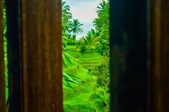 Vista do terraço romântico e relaxando do campo do arroz na ilha tropical em Ásia com árvores e o céu azul ensolarado fotos de stock royalty free