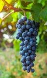 Vista do vinhedo com grupos de uvas maduras do vinho tinto foto de stock royalty free