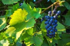 Vista do vinhedo com grupos de uvas para vinho imagem de stock royalty free