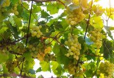 Vista do vinhedo com grupos de uvas para vinho verdes foto de stock