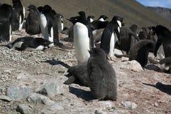 Vista do viveiro do pinguim do adelie do montanhês imagens de stock royalty free