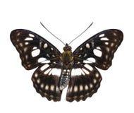 Vista dorsale isolata della farfalla Nero-venata di sergente & di x28; Athyma Immagini Stock Libere da Diritti