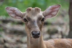 Vista dos cervos Imagens de Stock