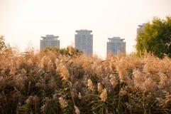 Vista dos spikelets de lingüeta contra as construções da cidade imagens de stock