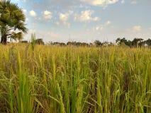 Vista eccellente del cielo fresco verde della risaia immagine stock