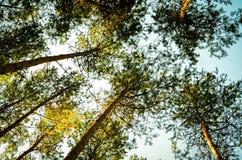 Vista em direção ao céu às árvores no outono da floresta da queda imagem de stock