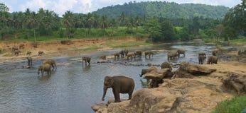 Vista em elefantes indianos grandes no parque exótico de Ásia do rio em Sri L Foto de Stock Royalty Free
