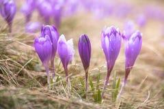 Vista em flores ensolarados do açafrão na mola Fotos de Stock