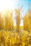 Vista em plantas da aveia no fundo do céu azul e do sol fotos de stock
