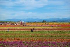 Vista em um campo da tulipa com fileiras das tulipas de cores diferentes foto de stock royalty free