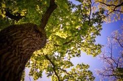 Vista em uma coroa da árvore de baixo de Foto de Stock Royalty Free