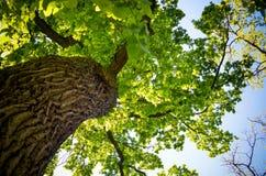 Vista em uma coroa da árvore de baixo de Fotos de Stock