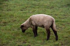 Vista em uma grama de alimentação branca e marrom pequena dos carneiros em uma área da grama sob um céu nebuloso no emsland Alema fotos de stock royalty free