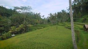 Vista emocionante de los campos sin fin verdes del arroz y del jardín tropical de Bali La vegetación tropical lujuriante colgante metrajes