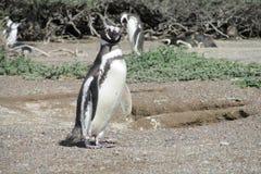 Vista engraçada do pinguim Imagem de Stock