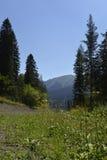 Vista escénica del bosque conífero Foto de archivo libre de regalías