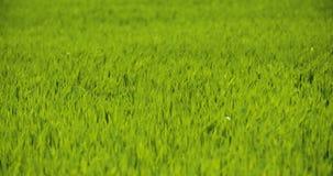 Vista esc?nica del campo de trigo contra el cielo almacen de video