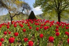 Vista excepcional de una cama de tulipán roja grande Imágenes de archivo libres de regalías