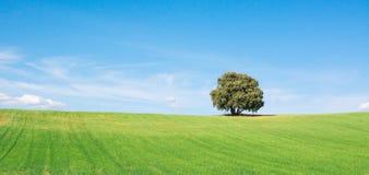 Vista fant?stica del roble de la encina aislada en un campo de trigo verde, debajo de un cielo azul limpio fotos de archivo