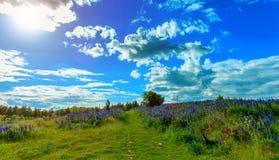 Vista fantastica cielo ideale con le nuvole sopra la strada ed il giacimento della montagna con i fiori del lupino Scena pittores Fotografia Stock Libera da Diritti