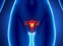 Vista femminile dei raggi X del sistema RIPRODUTTIVO Immagine Stock Libera da Diritti