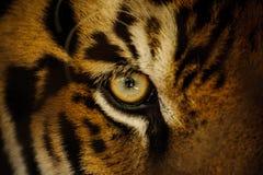 Vista feroz do olho do tigre de Bengal Fotografia de Stock
