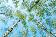Vista fino agli alberi di betulla della molla con le foglie verdi Immagini Stock Libere da Diritti