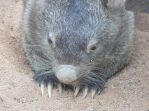 Vista frontal del jefe de un wombat imagenes de archivo