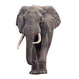 Vista frontale ambulante dell'elefante immagini stock