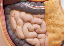 Vista frontale degli intestini tenui nel modello del corpo fotografia stock