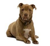 Vista frontale del cane dell'incrocio che si trova giù fotografia stock libera da diritti