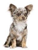 Vista frontale del cucciolo della chihuahua, 8 mesi Fotografie Stock Libere da Diritti