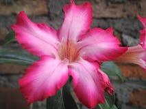 Vista frontale del fiore rosso, fotografia stock libera da diritti