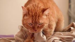 Vista frontale del gatto britannico rosso che masturba sul letto coperto di copertura rosa Vita dell'animale domestico archivi video