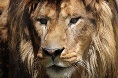 Vista frontale del leone Immagine Stock