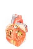 Vista frontale del modello umano del cuore Fotografie Stock Libere da Diritti