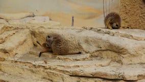 Vista frontale del suricatta animale del Suricata di Meerkat che gioca nella sabbia archivi video