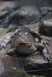 Vista frontale dell'alligatore di Yangtze Fotografie Stock Libere da Diritti