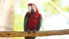 Vista frontale dell'ara su un ramo in amazon ecuadoriano Nomi comuni: Guacamayo o Papagayo fotografia stock libera da diritti