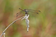 Vista frontale della bella libellula Fotografia Stock Libera da Diritti