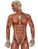 Vista frontale della struttura del muscolo dell'uomo Fotografia Stock Libera da Diritti