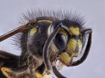 Vista frontale della vespa su fondo bianco, macro primo piano fotografia stock